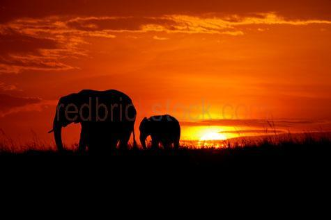 elephant; elephants; animal; animals; african elephant; african elephants; african animal; african animals;africa; african;african wildlife; african wild life;safari; safaris; african safari; african safaris;trunk; trunks; elephant trunk; elephant trunks;tusk; tusks; elephant tusk; elephant tusks; calf; calves; elephant calf; elephant calves; baby elephant; baby elephants; baby animal; baby animals; baby; babies; cute; endangered animal; endangered animals; endangered species; threatened animal; threatened animals; threatened specials; wild elephant; wild elephants; wild animal; wild animals; wild; in the wild; elephant in the wild; elephants in the wild; animal in the wild; animals in the wild; large animal; large animals; terrestrial; terrestrial animal; terrestrial animals;terrestrial mammal; terrestrial mammals; mammal; mammals; elephant portrait; elephant portraits; animal portrait; animal portraits;elephantidae;elephas maximus sumatrensis; wildlife; wild life; australian wildlife; australian wild life; wildlife photography; wild life photography; nature; natural habitat; natural habitats;animal photography; mother and child; mother & child;mother; mothers; motherhood; parent; parents; parenting; parenthood; child; children; nurture; nurtures; nurturing;protect; protects; protection; red; reds; colour red; color red; orange; oranges; colour orange; color orange; silhouette; silhouettes; silhouetted; in silhouette; elephant silhouette; elephant silhouettes; silhouetted elephant; silhouetted elephants; elephant in silhouette; elephants in silhouette; backlit; back lit; backlight; back light; backlighting; back lighting; vibrant; vibrant colour; vibrant color; vibrant colours; vibrant colours; sunset; sunsets; sunsetting; sun set; sun sets; sun setting; sunset sky; sunset skies; sun set sky; sun set skies; sky; skies; dusk; against sunset sky; against sun set sky; red sky; red skies; orange sky; orange skies; cloud; clouds; dramatic sky; dramatic skies; dramatic s