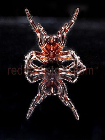 spider; spiders; animal; animals; funnel web spider; funnel web spiders; funnel-web spider; funnel-web spiders; funnel web; funnel webs; funnel-web; funnel-webs; atracinae; hexathelidae; agelenidae; australian spider; australian spiders; australian animal; australian animals;creepy crawly; creepy crawlie; creepy crawlies; critter; critters; creature; creatures; poisonous; poison; poisons; venomous; venom; venoms; poisonous spider; poisonous spiders; spider poison; spider poisons; venomous spider; venomous spiders; spider venom; spider venoms;deadly; deadly spider; deadly spiders; deadly animal; deadly animals; danger; dangers; dangerous; dangerous spider; dangerous spiders; dangerous animal; dangerous animals; toxic; toxin; toxins; aggressive; aggression; aggressive spider; aggressive spiders; aggressive animal; aggressive animals; attack; attacks; spider bite; spider bites; defence mechanism; defence mechanisms; spider defence mechanism; spider defence mechanisms;fang; fangs; spider fang; spider fangs;arachnid; arachnids;eight; 8; eight legs; 8 legs;phobia; phobias; spider phobia; spider phobias; arachnophobia; arachnephobia; fear; fears; fear of spiders;spider portrait; spider portraits; animal portrait; animal portraits; macro; macro photography;animal photography; reflection; reflections; black background; black backgrounds; black back ground; black back grounds; on black; on black background; on black backgrounds; on black back ground; on black back grounds; studio; studios; sydney; new south wales; nsw; australia; australian; aus; royalty free; rf; royalty free image; royalty free images; rf image; rf images; close-up; close-ups; close up; close ups; closeup; closeups; close-up view; close-up views; closeup view; closeup views; close-up views; close-up views; close up views; closeup views; copyspace; copy space; textspace; text space; at; on; in; and; &; +;