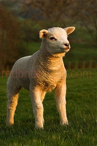 sheep; sheeps; animal; animals; beltex sheep; beltex; beltex lamb; beltex lambs; texel sheep; texel; texel lamb; texel lambs; lamb; lambs; baby sheep; baby animal; baby animals; baby; babies; cute; lambing; lambing season; lambing seasons;ovine; ovines; ovine industry; wool; wooly; woolly; woolley; fleece; fleeces;livestock; live stock; stock;sheep industry; sheep farming industry; farming industry; farm animal; farm animals; farm; farms; farming; sheep farming; graze; grazes; grazing; sheep grazing; nature; pasture; pastures; lush; lush pasture; lush pastures;paddock; paddocks; sheep paddock; sheep paddocks; farm paddock; farm paddocks; farming paddock; farming paddocks; farmland; farmlands; farm land; farm lands; farming property; farming properties;on farm; on the farm; sheep on farm; sheep on the farm; lamb on farm; lambs on farm; lamb on the farm; lambs on the farm; at farm; at the farm; sheep at farm; sheep at the farm; lamb at farm; lambs at farm; lamb at the farm; lambs at the farm; field; fields; lush field; lush fields;sheep farmer; sheep farmers; farmer; farmers; food chain; food chains;country; countryside; country setting; country settings; english country; english countryside; rural; rural area; rural areas; rural setting; rural settings; rural england; sheep portrait; sheep portraits; animal portrait; animal portraits;animal photography; grass; grasses; green grass; green grasses; greenery; hill; hills; hilly; hillside; hill side; sunlight; sun light; travel; travels; traveling; overseas travel; over seas travel; overseas; over seas; holiday; holidays; vacation; vacations; trip; trips; overseas holiday; overseas holidays; over seas holiday; over seas holidays; overseas vacation; overseas vacations; over seas vacation; over seas vacations; overseas trip; overseas trips; over seas trip; over seas trips; england; english; europe; cumbria; day; daytime; day time; during the day; in the daytime; in the day time; daylight; day light; rights managed; rm; rig