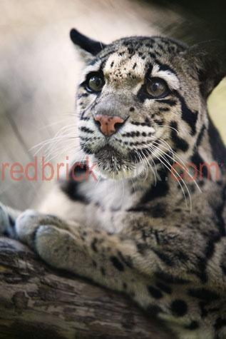 leopard;leopards;clouded leopard;clouded leopards;formosan clouded leopard;formosan clouded leopards;animal;animals;cub;cubs;leopard cub;leopard cubs;clouded leopard cub;clouded leopard cubs;formosan clouded leopard cub;formosan clouded leopard cubs;baby leopard;baby leopards;baby animal;baby animals;baby;babies;cute;cat;cats;carnivore;carnivores;carnivorous;spot;spots;spotted;spotty;spotted pattern;spotted patterns;spotty pattern;spotty patterns;pattern;patterns;patterned;leopard print;leopard spot;leopard spots;lean;lean animal;lean animals;tree climber;tree climbers;tree climb;tree climbs;tree climbing;climber;climbers;climb;climbs;climbing;leopard climbing tree;leopard climbing trees;leopard in tree;leopard in trees;tree;trees;wild cat;wild cats;big cat;big cats;cat family;wild leopard;wild leopards;wild animal;wild animals;wild;in the wild;leopard in the wild;leopards in the wild;animal in the wild;animals in the wild;danger;dangers;dangerous;dangerous animal;dangerous animals;whisker;whiskers;leopard whisker;leopard whiskers;cat whisker;cat whiskers;fast;fast animal;fast animals;speed;speedy;speedy animal;speedy animals;aggressive;aggression;aggressive animal;aggressive animals;nature;natural habitat;natural habitats;wildlife;wild life;wildlife photography;wild life photography;zoo;zoos;animal zoo;animal zoos;melbourne zoo;leopard portrait;leopard portraits;animal portrait;animal portraits;panthera pardus;neofelis nebulosa;neofelis;close-up;close-ups;close up;close ups;closeup;closeups;close-up view;close-up views;closeup view;closeup views;close-up views;close-up views;close up views;closeup views;copyspace;copy space;textspace;text space