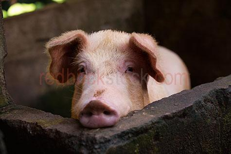 pig; pigs; animal; animals; snout; snouts; pig snout; pig snouts; pigs snout; pigs snouts; nose; noses; pig nose; pig noses; pigs nose; pigs noses; smell; smells; smelling; scent; smelly; pigsty; pigsties; pig sty; pig sties; sty; sties; pigpen; pigpens; pig pen; pig pens; pen; pens; pig in pigsty; pigs in pigsty; pigs in pigsties; pig in pig sty; pigs in pig sty; pigs in pig sties; pig in sty; pigs in sties; pig in pigpen; pigs in pigpen; pigs in pigpens; pig in pig pen; pigs in pig pen; pigs in pig pens; pig in pen; pigs in pen; pigs in pens; pig in a pigsty; pigs in a pigsty; pig in a pig sty; pigs in a pig sty; pig in a sty; pigs in a sty; pig in a pigpen; pigs in a pigpen; pig in a pig pen; pigs in a pig pen; pig in a pen; pigs in a pen; piggy; piggie; piggies; pink pig; pink pigs; pig farming; pig farming industry; farming industry; farm animal; farm animals; farm; farms; farming; on farm; on the farm; pig on farm; pigs on farm; pig on the farm; pigs on the farm; at farm; at the farm; pig at farm; pigs at farm; pig at the farm; pigs at the farm; pig farmer; pig farmers; farmer; farmers; food chain; food chains; livestock; live stock; stock; country; country setting; country settings; rural; rural area; rural areas; rural setting; rural settings; swine; swine flu; dirt; dirts; dirty; dirty pig; dirty pigs; grub; grubs; grubby; grubby pig; grubby pigs; pig portrait; pig portraits; animal portrait; animal portraits; pet; pets; pet animal; pet animals; mammal; mammals; suidae; agriculture; agricultural; agriculture industry; agricultural industry; animal photography; day; daytime; day time; during the day; in the daytime; in the day time; daylight; day light; sow; sows; head; heads; pig head; pig heads; animal head; animal heads; face; faces; pig face; pig faces; animal face; animal faces; ear; ears; pig ear; pig ears; pigs ears; looking at camera; looking at the camera; tourist destination; tourist destinations; bali tourist destination; bali tourist destinations; balinese tourist destination; balinese tourist destinations; indonesian tourist destination; indonesian tourist destinations; asian tourist destination; asian tourist destinations; travel; travels; traveling; overseas travel; over seas travel; overseas; over seas; holiday; holidays; vacation; vacations; trip; trips; overseas holiday; overseas holidays; over seas holiday; over seas holidays; overseas vacation; overseas vacations; over seas vacation; over seas vacations; overseas trip; overseas trips; over seas trip; over seas trips; bali; balinese; indonesia; indonesian; asia; asian; royalty free; rf; royalty free image; royalty free images; rf image; rf images;  close-up; close-ups; close up; close ups; closeup; closeups; close-up view; close-up views; closeup view; closeup views; close-up views; close-up views; close up views; closeup views; copyspace; copy space; textspace; text space; at; on; in; and; &; +;