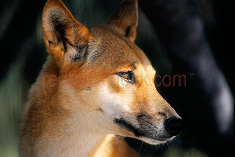 dingo; dingoes; animal; animals; australian animal; australian animals;australian native animal; australian native animals; native animal; native animals; native; natives;native species; australian native species; wild dingo; wild dingoes; wild animal; wild animals; wild; in the wild; dingo in the wild; dingoes in the wild; animal in the wild; animals in the wild; dog; dogs; wild dog; wild dogs;canine; canines; wild canine; wild canines; terrestrial; terrestrial animal; terrestrial animals;terrestrial mammal; terrestrial mammals; roam; roams; roaming;hunt; hunts; hunting; hunter; hunters; dingo hunting; dingoes hunting; dingo hunting prey; dingoes hunting prey; danger; dangers; dangerous; dangerous animal; dangerous animals; dingo portrait; dingo portraits; animal portrait; animal portraits;fraser island; queensland; qld; australia; australian; aus;island; islands; tropical island; tropical islands; tropical; tropic; tropics;east coast; australian east coast; australias east coast; east coast of australia;heritage listed; world heritage; world heritage site; world heritage sites; australian heritage listed; australian world heritage site; australian world heritage sites;national park; national parks; protected area; protected areas; conservation; conservations; carnivore; carnivores; carnivorous;mammal; mammals; australian mammal; australian mammals;canis lupus dingo; canus familiaris dingo; wildlife; wild life; australian wildlife; australian wild life; australian native wildlife; australian native wild life; wildlife photography; wild life photography; nature; natural habitat; natural habitats;animal photography; head; heads; dingo head; dingo heads; animal head; animal heads; face; faces; dingo face; dingo faces; animal face; animal faces; eye; eyes; dingo eye; dingo eyes; animal eye; animal eyes; ear; ears; dingo ear; dingo ears; mouth; mouths; dingo mouth; dingo mouths; nose; noses; dingo nose; dingo noses; side; side view; side views; profile; profiles; dingo 