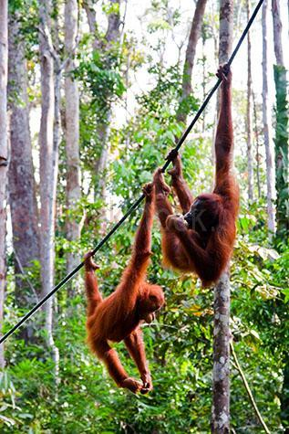 orangutan; orangutans; orang-utan; orang-utans; orang utan; orang utans; animal; animals; ape; apes; wild ape; wild apes; great ape; great apes; wild orangutan; wild orangutans; wild orang-utan; wild orang-utans; wild orang utan; wild orang utans; wild animal; wild animals; wild;in the wild; orangutan in the wild; orangutans in the wild; orang-utan in the wild; orang-utans in the wild; orang utan in the wild; orang utans in the wild; animal in the wild; animals in the wild; ape in the wild; apes in the wild; primate; primates; endangered animal; endangered animals; endangered species; threatened animal; threatened animals; threatened specials;adult; adults; adult orangutan; adult orangutans; adult orang-utan; adult orang-utans; adult orang utan; adult orang utans; asia; asian; malaysia; sarawak; asian animal; asian animals; rainforest; rainforests; rain forest; rain forests; forest; forests;jungle; jungles; orangutan in jungle; orangutans in jungle; animal in jungle; animals in jungle; jungle animal; jungle animals; rehabilitation centre; rehabilitation centres; animal rehabilitation centre; animal rehabilitation centres; zoo; zoos; animal zoo; animal zoos;animal enclosure; animal enclosures; orangutan enclosure; orangutan enclosures; mammal; mammals;male; males; male orangutan; male orangutans; orangutan portrait; orangutan portraits; orang-utan portrait; orang-utan portraits; orang utan portrait; orang utan portraits; animal portrait; animal portraits; pongo; pongo pygmaeus; ponginae; semenggoh orangutan; semenggoh orangutans; semenggoh orang-utan; semenggoh orang-utans; tree; trees; green tree; green trees; greenery; leaf; leaves; tree leaf; tree leaves; green leaf; green leaves; green tree leaf; green tree leaves; play; plays; playing; playful; orangutan playing; orangutans playing; orang-utan playing; orang-utans playing; orang utan playing; orang utans playing; animal playing; animals playing; playful orangutan; playful orangutans; playful orang-utan; playful 