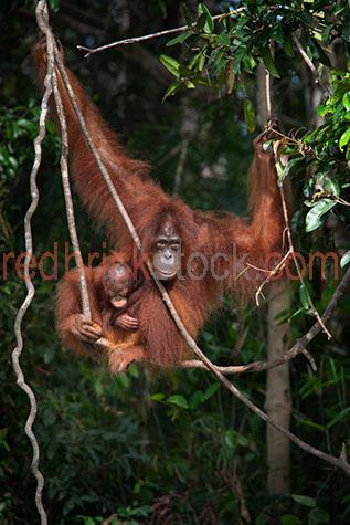 orangutan; orangutans; orang-utan; orang-utans; orang utan; orang utans; animal; animals; ape; apes; wild ape; wild apes; great ape; great apes; wild orangutan; wild orangutans; wild orang-utan; wild orang-utans; wild orang utan; wild orang utans; wild animal; wild animals; wild; in the wild; orangutan in the wild; orangutans in the wild; orang-utan in the wild; orang-utans in the wild; orang utan in the wild; orang utans in the wild; animal in the wild; animals in the wild; ape in the wild; apes in the wild; primate; primates; endangered animal; endangered animals; endangered species; threatened animal; threatened animals; threatened specials; adult; adults; adult orangutan; adult orangutans; adult orang-utan; adult orang-utans; adult orang utan; adult orang utans; play; plays; playing; playful; orangutan playing; orangutans playing; orang-utan playing; orang-utans playing; orang utan playing; orang utans playing; animal playing; animals playing; playful orangutan; playful orangutans; playful orang-utan; playful orang-utans; playful orang utan; playful orang utans; playful animal; playful animals; climb; climbs; climbing; climber; climbers; tree climber; tree climbers; tree climb; tree climbs; tree climbing; tree; trees; cheeky; cheeky monkey; cheeky monkeys; rainforest; rainforests; rain forest; rain forests; forest; forests; jungle; jungles; orangutan in jungle; orangutans in jungle; animal in jungle; animals in jungle; jungle animal; jungle animals; mammal; mammals; orangutan portrait; orangutan portraits; orang-utan portrait; orang-utan portraits; orang utan portrait; orang utan portraits; animal portrait; animal portraits; pongo; pongo pygmaeus; ponginae; asia; asian; asian orangutan; asian orangutans; asian animal; asian animals; borneo; borneo orangutan; borneo orangutans; indonesia; indonesian; indonesian orangutan; indonesian orangutans; central kalimantan; kalimantan; nyaru menteng; nyaru menteng care centre; nyaru menteng orangutan rehabilitation and rei
