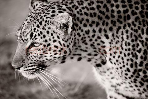 leopard; leopards; animal; animals; wild leopard; wild leopards; wild animal; wild animals; wild; in the wild; leopard in the wild; leopards in the wild; animal in the wild; animals in the wild; cat; cats; wild cat; wild cats;big cat; big cats;cat family; africa; african;kenya; kenyan; african leopard; african leopards; african animal; african animals; african wildlife; african wild life; safari; safaris; african safari; african safaris;carnivore; carnivores; carnivorous; hunt; hunts; hunting; hunter; hunters; hunting prey; leopard hunting prey; leopards hunting prey; stalk; stalks; stalking; stalker; stalkers; stalking prey; leopard stalking prey; leopards stalking prey; walk; walks; walking; leopard walk; leopard walks; leopard walking; leopards walking; danger; dangers; dangerous; dangerous animal; dangerous animals; encounter; encounters; animal encounter; animals encounters;close encounter; close encounters;spot; spots; spotted; spotty; spotted pattern; spotted patterns; spotty pattern; spotty patterns; pattern; patterns; patterned; leopard print; leopard spot; leopard spots; lean; lean animal; lean animals; whisker; whiskers; leopard whisker; leopard whiskers; cat whisker; cat whiskers; fast; fast animal; fast animals; speed; speedy; speedy animal; speedy animals; aggressive; aggression; aggressive animal; aggressive animals; zoo; zoos; animal zoo; animal zoos; leopard portrait; leopard portraits; animal portrait; animal portraits; panthera pardus; wildlife; wild life; wildlife photography; wild life photography; nature; natural habitat; natural habitats; head; heads; leopard head; leopard heads; animal head; animal heads; face; faces; leopard face; leopard faces; animal face; animal faces; black and white; black & white; black + white; b&w; b & w; b+w; b + w; monochrome; mono; sepia; sepia tone; sepia tones; day; daytime; day time; during the day; in the daytime; in the day time; daylight; day light; tourist attraction; tourist attractions; african tourist at