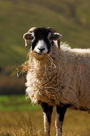 sheep; sheeps; animal; animals; swaledale sheep; swaledale; swaledales; ovine; ovines; ovine industry; wool; wooly; woolly; woolley; fleece; fleeces;livestock; live stock; stock;sheep industry; sheep farming industry; farming industry; farm animal; farm animals; farm; farms; farming; sheep farming; graze; grazes; grazing; sheep grazing; eating grass; sheep eating grass; nature; pasture; pastures; lush; lush pasture; lush pastures;paddock; paddocks; sheep paddock; sheep paddocks; farm paddock; farm paddocks; farming paddock; farming paddocks; farmland; farmlands; farm land; farm lands; farming property; farming properties;on farm; on the farm; sheep on farm; sheep on the farm; at farm; at the farm; sheep at farm; sheep at the farm; field; fields; lush field; lush fields;sheep farmer; sheep farmers; farmer; farmers; food chain; food chains;country; countryside; country setting; country settings; english country; english countryside; rural; rural area; rural areas; rural setting; rural settings; rural england; sheep portrait; sheep portraits; animal portrait; animal portraits;nature; animal photography; grass; grasses; green grass; green grasses; greenery; hill; hills; hilly; hillside; hill side; sunlight; sun light; black and white sheep; black & white sheep; tag; tags; tagged; tagging; sheep tag: sheep tags; tagged sheep; tagging sheep; sheep tagging; mark; marks; marking; markings; sheep marking; sheep markings; looking at camera; looking at the camera; travel; travels; traveling; overseas travel; over seas travel; overseas; over seas; holiday; holidays; vacation; vacations; trip; trips; overseas holiday; overseas holidays; over seas holiday; over seas holidays; overseas vacation; overseas vacations; over seas vacation; over seas vacations; overseas trip; overseas trips; over seas trip; over seas trips; england; english; europe; yorkshire; moorland; day; daytime; day time; during the day; in the daytime; in the day time; daylight; day light; rights managed; rm; righ
