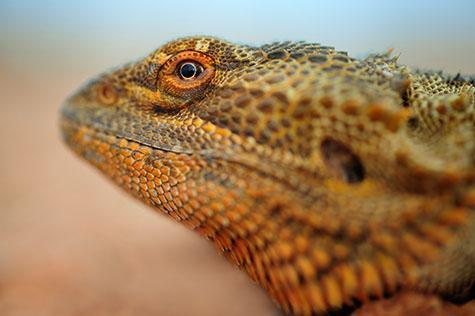 bearded dragon; bearded dragons; lizard; lizards; dragon; dragons; bearded dragon lizard; bearded dragon lizards; bearded lizard; bearded lizards; animal; animals; australian animal; australian animals;australian native animal; australian native animals; native animal; native animals; native; natives;native species; australian native species; fauna; australian fauna; australian native fauna; reptile; reptiles; australian reptile; australian reptiles; wild bearded dragon; wild bearded dragons; wild lizard; wild lizards; wild animal; wild animals; wild; in the wild; bearded dragon in the wild; bearded dragons in the wild; lizard in the wild; lizards in the wild; animal in the wild; animals in the wild; beard; beards; bearded;neck; necks; bearded dragon portrait; bearded dragon portraits; lizard portrait; lizard portraits; animal portrait; animal portraits;pogona; australian lizard; australian lizards; australian native lizard; australian native lizards; camouflage; camouflages; camouflaging;desert; deserts; australian desert; australian deserts;sand; sands; sandy;dry; dry land; dry lands; barren; barren land; barren lands; desolate; desolate land; desolate lands;arid; arid land; arid lands; red earth; red dirt; red dirts; dirt; dirts; red soil; red soils; orange soil; orange soils; soil; soils; red sand; red sands;orange sand; orange sands; drought; droughts; drought stricken; drought stricken land; terrestrial; terrestrial animal; terrestrial animals; animal photography; wildlife; wild life; australian wildlife; australian wild life; australian native wildlife; australian native wild life; wildlife photography; wild life photography; nature; natural habitat; natural habitats;national park; national parks; protected area; protected areas; conservation; conservations; eye; eyes; lizard eye; lizard eyes; animal eye; animal yes; mouth; mouths; lizard mouth; lizard mouths; head; heads; lizard head; lizard heads; animal head; animal heads; bearded dragon head; bearded drag