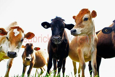 cow; cows; cattle; animal; animals; dairy cow; dairy cows; dairy cattle; dairy industry; dairy farm; dairy farms; dairy farming; dairy farming industry; dairy; dairies; milk cow; milk cows; milk cattle;bovine; bovines; bovine industry; livestock; live stock; stock;cattle industry; bovine industry; farming industry; cattle farming industry; graze; grazes; grazing; cow grazing; cows grazing; cattle grazing;eating grass; cow eating grass; cows eating grass; cattle eating grass;pasture; pastures; lush; lush pasture; lush pastures;herd; herds; herding; cattle herd; cattle herds; food chain; food chains;import; imports; importing; livestock import; livestock imports; importing livestock; live stock import; live stock imports; importing live stock; export; exports; exporting; livestock export; livestock exports; exporting livestock; live stock export; live stock exports; exporting livestock; cattle farmer; cattle farmers; dairy cattle farmer; dairy cattle farmers; farmer; farmers; dairy farmer; dairy farmers; farm animal; farm animals; farm; farms; farming; cattle farming;australian farm; australian farms; australian farming; australian farming industry; australian cattle farming; australian cattle farming industry; australian bovine industry; australian dairy farming; australian dairy farming industry; australian dairy industry; farmland; farmlands; farm land; farm lands; farming property; farming properties;on farm; on the farm; cow on farm; cows on farm; cattle on farm; cow on the farm; cows on the farm; cattle on the farm; animal on farm; animals on farm; animal on the farm; animals on the farm; at farm;at the farm; cow at farm; cows at farm; cattle at farm; cow at the farm; cows at the farm; cattle at the farm; animal at farm; animals at farm; animal at the farm; animals at the farm; paddock; paddocks; cow paddock; cow paddocks; cattle paddock; cattle paddocks; farm paddock; farm paddocks; farming paddock; farming paddocks; cattle yard; cattle yards; yard; yards; catt