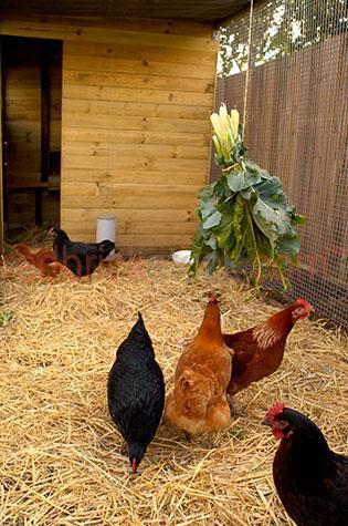 hen; hens; pullet; pullets; chook; chooks; chicken; chickens; animal; animals; chook pen; chook pens; chicken pen; chicken pens; pen; pens; chicken coop; chicken coops; chook coop; chook coops; coop; coops;bird; birds;backyard chooks; back yard chooks; backyard chickens; back yard chickens; backyard; backyards; back yard; back yards;comb; combs; combe; combes; chook comb; chook combs; chook combe; chook combes; chicken comb; chicken combs; chicken combe; chicken combes; laying eggs; hen laying eggs; nest; nests; nesting; hen nesting; hens nesting;feather; feathers; chook feather; chook feathers; chicken feather; chicken feathers;black feather; black feathers; red feather; red feathers; orange feather; orange feathers; beak; beaks; chook beak; chook beaks; chicken beak; chicken beaks; wing; wings; chook wing; chook wings; chicken wing; chicken wings; clipped wing; clipped wings; free range; freerange; free-range;free range chook; free range chooks; freerange chook; freerange chooks; free-range chook; free-range chooks; free range chicken; free range chickens; freerange chicken; freerange chickens; free-range chicken; free-range chickens;free range hen; free range hens; freerange hen; freerange hens; free-range hen; free-range hens;free range farm; free range farms; free range farming; freerange farm; freerange farms; freerange farming;farm animal; farm animals; farm; farms; farming;australian farm; australian farms; australian farming; australian farming industry; agriculture; agricultural; agriculture industry; australian agriculture industry; agricultural industry; australian agricultural industry; farmland; farmlands; farm land; farm lands; farming property; farming properties; on farm; on the farm; chook on farm; chooks on farm; chook on the farm; chooks on the farm; chicken on farm; chickens on farm; chicken on the farm; chickens on the farm; hen on farm; hens on farm; hen on the farm; hens on the farm; at farm; at the farm; chook at farm; chooks at farm; chook 