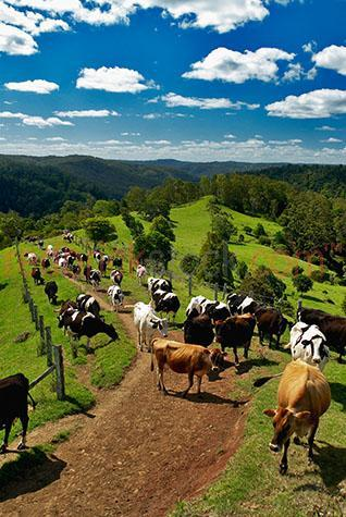 cow; cows; cattle; animal; animals; dairy cow; dairy cows; dairy cattle; friesian; friesians; friesian cow; friesian cows; friesian cattle; holstein friesian; holstein friesians; holstein friesian cow; holstein friesians cows; holstein friesian cattle; holstein; holsteins; holstein cow; holstein cows; holstein cattle; dairy industry; dairy farm; dairy farms; dairy farming; dairy farming industry; dairy; dairies; milk cow; milk cows; milk cattle;bovine; bovines; bovine industry; livestock; live stock; stock;cattle industry; bovine industry; farming industry; cattle farming industry; graze; grazes; grazing; cow grazing; cows grazing; cattle grazing;eating grass; cow eating grass; cows eating grass; cattle eating grass;pasture; pastures; lush; lush pasture; lush pastures;herd; herds; herding; cattle herd; cattle herds; food chain; food chains;cattle farmer; cattle farmers; beef cattle farmer; beef cattle farmers; farmer; farmers; dairy farmer; dairy farmers; farm animal; farm animals; farm; farms; farming; cattle farming;australian farm; australian farms; australian farming; australian farming industry; australian cattle farming; australian cattle farming industry; australian bovine industry; farmland; farmlands; farm land; farm lands; farming property; farming properties;on farm; on the farm; cow on farm; cows on farm; cattle on farm; cow on the farm; cows on the farm; cattle on the farm; dairy cow on farm; dairy cows on farm; dairy cattle on farm; dairy cow on the farm; dairy cows on the farm; dairy cattle on the farm; animal on farm; animals on farm; animal on the farm; animals on the farm; at farm;at the farm; cow at farm; cows at farm; cattle at farm; cow at the farm; cows at the farm; cattle at the farm; dairy cow at farm; dairy cows at farm; dairy cattle at farm; dairy cow at the farm; dairy cows at the farm; dairy cattle at the farm; animal at farm; animals at farm; animal at the farm; animals at the farm; paddock; paddocks; cow paddock; cow paddocks; cattle pa