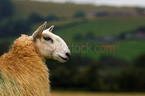 sheep; sheeps; animal; animals; ovine; ovines; ovine industry; ram; rams; wool; wooly; woolly; woolley; fleece; fleeces;livestock; live stock; stock;sheep industry; sheep farming industry; farming industry; farm animal; farm animals; farm; farms; farming; sheep farming; graze; grazes; grazing; sheep grazing; eating grass; sheep eating grass; nature; pasture; pastures; lush; lush pasture; lush pastures;paddock; paddocks; sheep paddock; sheep paddocks; farm paddock; farm paddocks; farming paddock; farming paddocks; farmland; farmlands; farm land; farm lands; farming property; farming properties;on farm; on the farm; sheep on farm; sheep on the farm; at farm; at the farm; sheep at farm; sheep at the farm; field; fields; lush field; lush fields;sheep farmer; sheep farmers; farmer; farmers; food chain; food chains;country; countryside; country setting; country settings; english country; english countryside; rural; rural area; rural areas; rural setting; rural settings; rural england;sheep portrait; sheep portraits; animal portrait; animal portraits;animal photography; grass; grasses; green grass; green grasses; greenery; hill; hills; hilly; hillside; hill side; side; side view; side views; profile; profiles; sheep side view; sheep side views; sheep profile; sheep profiles; head; heads; sheep head; sheep heads; animal head; animal heads; face; faces; sheep face; sheep faces; animal face; animal faces; ear; ears; sheep ear; sheep ears; mouth; mouths; sheep mouth; sheep mouths; eye; eyes; sheep eye; sheep eyes; animal eye; animal eyes; travel; travels; traveling; overseas travel; over seas travel; overseas; over seas; holiday; holidays; vacation; vacations; trip; trips; overseas holiday; overseas holidays; over seas holiday; over seas holidays; overseas vacation; overseas vacations; over seas vacation; over seas vacations; overseas trip; overseas trips; over seas trip; over seas trips; england; english; europe; moorland; day; daytime; day time; during the day; in the daytim