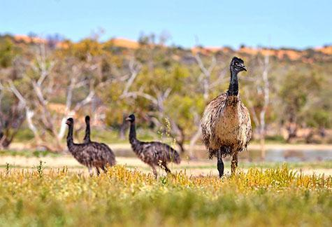 emu; emus; bird; birds; animal; animals; australian bird; australian birds; australian animal; australian animals; australian native bird; australian native birds; australian native animal; australian native animals; native; natives; native species; australian native species; fauna; australian fauna; australian native fauna; large bird; large birds; large australian bird; large australian birds; bush; bushland; bushlands; bush land; bush lands; bushes; shrub; australian bush; australian bushland; australian bushlands; australian bush land; australian bush lands; outback; out back; australian outback; australian out back; outback australia; out back australia; country; country setting; country settings; australian country; countryside; rural; rural area; rural areas; rural setting; rural settings; rural australia; regional; regional australia; australian icon; australian icons; icon; icons; iconic; iconic australia; wild emu; wild emus; wild bird; wild birds; wild animal; wild animals; wild; in the wild; wild emu; wild emus; wild bird; wild birds; animal in the wild; animals in the wild; wing; wings; emu wing; emu wings; bird wing; bird wings; beak; beaks; emu wing; emu wings; bird beak; bird beaks; feather; feathers; emu feather; emu feathers; bird feather; bird feathers;brown feather; brown feathers; neck; necks; long neck; long necks; emu neck; emu necks; terrestrial; terrestrial animal; terrestrial animals;terrestrial mammal; terrestrial mammals; mammal; mammals; australian mammal; australian mammals; emu portrait; emu portraits; bird portrait; bird portraits;dromaiidae; dromaius;wildlife; wild life; australian wildlife; australian wild life; australian native wildlife; australian native wild life; wildlife photography; wild life photography; nature; natural habitat; natural habitats;animal photography; national park; national parks; protected area; protected areas; conservation; conservations; day; daytime; day time; during the day; in the daytime; in the day ti