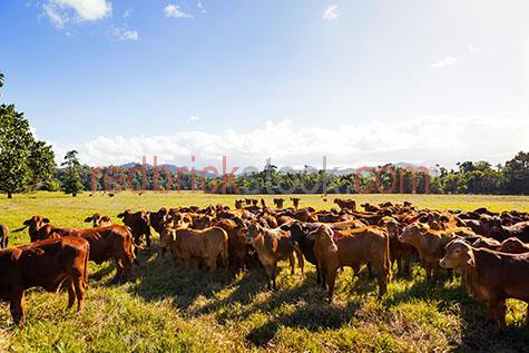 cow; cows; cattle; animal; animals; limousin cow; limousin cows; limousin cattle; limousin; limousins; beef cattle; beef industry; bovine; bovines; bovine industry; livestock; live stock; stock;cattle industry; bovine industry; farming industry; cattle farming industry; graze; grazes; grazing; cow grazing; cows grazing; cattle grazing; eating grass; cow eating grass; cows eating grass; cattle eating grass;pasture; pastures; lush; lush pasture; lush pastures;herd; herds; herding; cattle herd; cattle herds; herding cows; herding cattle; food chain; food chains;import; imports; importing; livestock import; livestock imports; importing livestock; live stock import; live stock imports; importing live stock; export; exports; exporting; livestock export; livestock exports; exporting livestock; live stock export; live stock exports; exporting livestock; farm animal; farm animals; farm; farms; farming; cattle farming;australian farm; australian farms; australian farming; australian farming industry; australian cattle farming; australian cattle farming industry; australian bovine industry; farmland; farmlands; farm land; farm lands; farming property; farming properties;on farm; on the farm; cow on farm; cows on farm; cattle on farm; cow on the farm; cows on the farm; cattle on the farm; animal on farm; animals on farm; animal on the farm; animals on the farm; at farm;at the farm; cow at farm; cows at farm; cattle at farm; cow at the farm; cows at the farm; cattle at the farm; animal at farm; animals at farm; animal at the farm; animals at the farm; paddock; paddocks; cow paddock; cow paddocks; cattle paddock; cattle paddocks; farm paddock; farm paddocks; farming paddock; farming paddocks; cattle yard; cattle yards; yard; yards; cow portrait; cow portraits; cattle portrait; cattle portraits; animal portrait; animal portraits; nature; agriculture; agricultural; agriculture industry; agricultural industry; australian agriculture industry; australian agricultural industry; animal