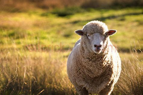 sheep; sheeps; animal; animals; merino sheep; merino; merinos;ovine; ovines; ovine industry; wool; wooly; woolly; woolley; fleece; fleeces;livestock; live stock; stock;sheep industry; sheep farming industry; farming industry; farm animal; farm animals; farm; farms; farming; sheep farming; australian farm; australian farms; australian sheep farming; australian sheep farming industry; australian farming; australian farming industry; australian ovine industry; graze; grazes; grazing; sheep grazing; pasture; pastures; paddock; paddocks; sheep paddock; sheep paddocks; farm paddock; farm paddocks; farming paddock; farming paddocks; farmland; farmlands; farm land; farm lands; farming property; farming properties;on farm; on the farm; sheep on farm; sheep on the farm; at farm; at the farm; sheep at farm; sheep at the farm; field; fields; sheep farmer; sheep farmers; farmer; farmers; food chain; food chains;sheep yard; sheep yards; yard; yards; country; countryside; country setting; country settings; australian country; australian countryside; rural; rural area; rural areas; rural setting; rural settings; rural australia; regional; regional australia;ewe; ewes; sheep portrait; sheep portraits; animal portrait; animal portraits;animal photography; agriculture; agricultural; agriculture industry; agricultural industry; australian agriculture industry; australian agricultural industry; nature; grass; grasses; long grass; long grasses; tall grass; tall grasses; day; daytime; day time; during the day; in the daytime; in the day time; daylight; day light; sunlight; sun light; looking at camera; looking at the camera; ear; ears; sheep ear; sheep ears; face; faces; sheep face; sheep faces; animal face; animal faces; head; heads; sheep head; sheep heads; animal head; animal heads; australia; australian; aus; royalty free; rf; royalty free image; royalty free images; rf image; rf images; close-up; close-ups; close up; close ups; closeup; closeups; close-up view; close-up views; closeu