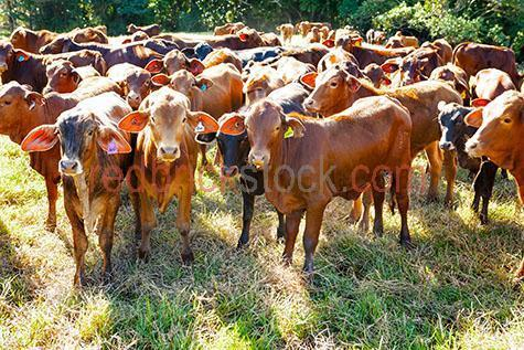 cow; cows; cattle; animal; animals; limousin cow; limousin cows; limousin cattle; limousin; limousins; beef cattle; beef industry; bovine; bovines; bovine industry; livestock; live stock; stock;cattle industry; bovine industry; farming industry; cattle farming industry; graze; grazes; grazing; cow grazing; cows grazing; cattle grazing; eating grass; cow eating grass; cows eating grass; cattle eating grass;pasture; pastures; lush; lush pasture; lush pastures;herd; herds; herding; cattle herd; cattle herds; herding cows; herding cattle; food chain; food chains;eating grass; cow eating grass; cows eating grass; cattle eating grass;import; imports; importing; livestock import; livestock imports; importing livestock; live stock import; live stock imports; importing live stock; export; exports; exporting; livestock export; livestock exports; exporting livestock; live stock export; live stock exports; exporting livestock; farm animal; farm animals; farm; farms; farming; cattle farming;australian farm; australian farms; australian farming; australian farming industry; australian cattle farming; australian cattle farming industry; australian bovine industry; farmland; farmlands; farm land; farm lands; farming property; farming properties;on farm; on the farm; cow on farm; cows on farm; cattle on farm; cow on the farm; cows on the farm; cattle on the farm; animal on farm; animals on farm; animal on the farm; animals on the farm; at farm;at the farm; cow at farm; cows at farm; cattle at farm; cow at the farm; cows at the farm; cattle at the farm; animal at farm; animals at farm; animal at the farm; animals at the farm; paddock; paddocks; cow paddock; cow paddocks; cattle paddock; cattle paddocks; farm paddock; farm paddocks; farming paddock; farming paddocks; cattle yard; cattle yards; yard; yards; cow portrait; cow portraits; cattle portrait; cattle portraits; animal portrait; animal portraits; nature; agriculture; agricultural; agriculture industry; agricultural industry; au