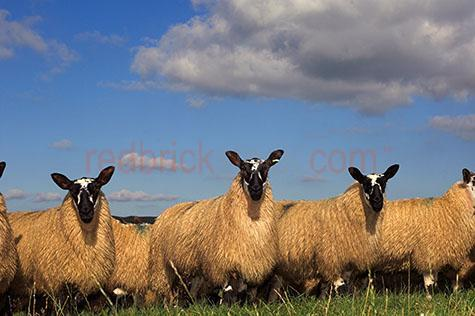 sheep; sheeps; animal; animals; ovine; ovines; ovine industry; ewe; ewes; wool; wooly; woolly; woolley; fleece; fleeces;livestock; live stock; stock;sheep industry; sheep farming industry; farming industry; farm animal; farm animals; farm; farms; farming; sheep farming; graze; grazes; grazing; sheep grazing; nature; pasture; pastures; lush; lush pasture; lush pastures;paddock; paddocks; sheep paddock; sheep paddocks; farm paddock; farm paddocks; farming paddock; farming paddocks; farmland; farmlands; farm land; farm lands; farming property; farming properties;on farm; on the farm; sheep on farm; sheep on the farm; at farm; at the farm; sheep at farm; sheep at the farm; field; fields; lush field; lush fields;sheep farmer; sheep farmers; farmer; farmers; food chain; food chains;country; countryside; country setting; country settings; english country; english countryside; rural; rural area; rural areas; rural setting; rural settings; rural england;sky; skies; blue sky; blue skies; against blue sky; cloud; clouds; cumulonimbus cloud; cumulonimbus clouds; row; rows; row of sheep; rows of sheep; standing in a row; sheep standing in a row; agriculture; agricultural; agriculture industry; looking at camera; looking at the camera; black and white sheep; black & white sheep; flock; flocks; flocking; flock of sheep; flocks of sheep; sheep flock; sheep flocks; sheep portrait; sheep portraits; animal portrait; animal portraits;animal photography; travel; travels; traveling; overseas travel; over seas travel; overseas; over seas; holiday; holidays; vacation; vacations; trip; trips; overseas holiday; overseas holidays; over seas holiday; over seas holidays; overseas vacation; overseas vacations; over seas vacation; over seas vacations; overseas trip; overseas trips; over seas trip; over seas trips; england; english; europe; uk; united kingdom; british; day; daytime; day time; during the day; in the daytime; in the day time; daylight; day light; rights managed; rm; rights managed i