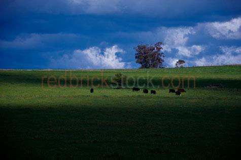 cow; cows; cattle; animal; animals; bovine; bovines; bovine industry; livestock; live stock; stock;cattle industry; bovine industry; farming industry; cattle farming industry; graze; grazes; grazing; cow grazing; cows grazing; cattle grazing;eating grass; cow eating grass; cows eating grass; cattle eating grass;pasture; pastures; lush; lush pasture; lush pastures;grass; grasses; green grass; green grasses; herd; herds; herding; cattle herd; cattle herds; herding cows; herding cattle; beef cattle; beef industry; food chain; food chains;black cow; black cows; black cattle; cattle farmer; cattle farmers; beef cattle farmer; beef cattle farmers; farmer; farmers; farm animal; farm animals; farm; farms; farming; cattle farming;australian farm; australian farms; australian farming; australian farming industry; australian cattle farming; australian cattle farming industry; australian bovine industry; farmland; farmlands; farm land; farm lands; farming property; farming properties;on farm; on the farm; cow on farm; cows on farm; cattle on farm; cow on the farm; cows on the farm; cattle on the farm; animal on farm; animals on farm; animal on the farm; animals on the farm; at farm;at the farm; cow at farm; cows at farm; cattle at farm; cow at the farm; cows at the farm; cattle at the farm; animal at farm; animals at farm; animal at the farm; animals at the farm; paddock; paddocks; cow paddock; cow paddocks; cattle paddock; cattle paddocks; farm paddock; farm paddocks; farming paddock; farming paddocks; fence; fences; fenced; fenced paddock; fenced paddocks; fenceline; fencelines; fence line; fence lines; cattle yard; cattle yards; yard; yards; cow feed; cow feeding; cattle feed; cattle feeding; feed; feeds; feeding;country; countryside; country setting; country settings; australian country; australian countryside; rural; rural area; rural areas; rural setting; rural settings; rural australia;regional; regional australia; import; imports; importing; livestock import; livestock 