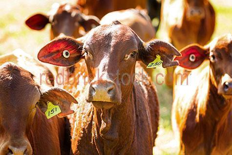 cow; cows; cattle; animal; animals; limousin cow; limousin cows; limousin cattle; limousin; limousins; beef cattle; beef industry; bovine; bovines; bovine industry; livestock; live stock; stock;cattle industry; bovine industry; farming industry; cattle farming industry; graze; grazes; grazing; cow grazing; cows grazing; cattle grazing; eating grass; cow eating grass; cows eating grass; cattle eating grass;pasture; pastures; lush; lush pasture; lush pastures;food chain; food chains;eating grass; cow eating grass; cows eating grass; cattle eating grass;import; imports; importing; livestock import; livestock imports; importing livestock; live stock import; live stock imports; importing live stock; export; exports; exporting; livestock export; livestock exports; exporting livestock; live stock export; live stock exports; exporting livestock; farm animal; farm animals; farm; farms; farming; cattle farming;australian farm; australian farms; australian farming; australian farming industry; australian cattle farming; australian cattle farming industry; australian bovine industry; farmland; farmlands; farm land; farm lands; farming property; farming properties;on farm; on the farm; cow on farm; cows on farm; cattle on farm; cow on the farm; cows on the farm; cattle on the farm; animal on farm; animals on farm; animal on the farm; animals on the farm; at farm;at the farm; cow at farm; cows at farm; cattle at farm; cow at the farm; cows at the farm; cattle at the farm; animal at farm; animals at farm; animal at the farm; animals at the farm; paddock; paddocks; cow paddock; cow paddocks; cattle paddock; cattle paddocks; farm paddock; farm paddocks; farming paddock; farming paddocks; cattle yard; cattle yards; yard; yards; cow portrait; cow portraits; cattle portrait; cattle portraits; animal portrait; animal portraits; nature; agriculture; agricultural; agriculture industry; agricultural industry; australian agriculture industry; australian agricultural industry; animal photogr