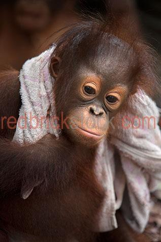 orangutan; orangutans; orang-utan; orang-utans; orang utan; orang utans; animal; animals; ape; apes; young; young orangutan; young orangutans; young orang-utan; young orang-utans; young orang utan; young orang utans; baby orangutan; baby orangutans; baby animal; baby animals; baby; babies; cute; orangutan infant; orangutan infants; infant; infants; primate; primates; endangered animal; endangered animals; endangered species; threatened animal; threatened animals; threatened specials; play; plays; playing; playful; orangutan playing; orangutans playing; orang-utan playing; orang-utans playing; orang utan playing; orang utans playing; animal playing; animals playing; playful orangutan; playful orangutans; playful orang-utan; playful orang-utans; playful orang utan; playful orang utans; playful animal; playful animals; rainforest; rainforests; rain forest; rain forests; forest; forests; jungle; jungles; orangutan in jungle; orangutans in jungle; animal in jungle; animals in jungle; jungle animal; jungle animals; mammal; mammals; orangutan portrait; orangutan portraits; orang-utan portrait; orang-utan portraits; orang utan portrait; orang utan portraits; animal portrait; animal portraits; pongo; pongo pygmaeus; ponginae; asia; asian; asian orangutan; asian orangutans; asian animal; asian animals; borneo; borneo orangutan; borneo orangutans; indonesia; indonesian; indonesian orangutan; indonesian orangutans; central kalimantan; kalimantan; nyaru menteng; nyaru menteng care centre; nyaru menteng orangutan rehabilitation and reintroduction centre; rehabilitation centre; rehabilitation centres; animal rehabilitation centre; animal rehabilitation centres; wildlife; wild life; asian wildlife; asian wild life; wildlife photography; wild life photography; nature; national park; national parks; protected area; protected areas; conservation; conservations; animal shelter; animal shelters; shelter; shelters; animal rescue; animal rescues; rescue; rescues; animal welfare shelter; a