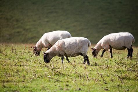 sheep; sheeps; animal; animals; ewe; ewes; ovine; ovines; ovine industry; wool; wooly; woolly; woolley; fleece; fleeces;livestock; live stock; stock;sheep industry; sheep farming industry; farming industry; farm animal; farm animals; farm; farms; farming; sheep farming; graze; grazes; grazing; sheep grazing; eating grass; sheep eating grass; nature; agriculture; agricultural; agriculture industry; pasture; pastures; grass; grasses; green grass; green grasses; greenery; lush; lush pasture; lush pastures;paddock; paddocks; sheep paddock; sheep paddocks; farm paddock; farm paddocks; farming paddock; farming paddocks; farmland; farmlands; farm land; farm lands; farming property; farming properties;on farm; on the farm; sheep on farm; sheep on the farm; at farm; at the farm; sheep at farm; sheep at the farm; field; fields; lush field; lush fields;sheep farmer; sheep farmers; farmer; farmers; food chain; food chains;country; countryside; country setting; country settings; english country; english countryside; rural; rural area; rural areas; rural setting; rural settings; rural england;sheep portrait; sheep portraits; animal portrait; animal portraits;animal photography; grass; grasses; green grass; green grasses; greenery; hill; hills; hilly; hillside; hill side; sunlight; sun light; blue sky; flock; flocks; flocking; flock of sheep; flocks of sheep; sheep flock; sheep flocks; travel; black and white sheep; black & white sheep; travels; traveling; overseas travel; over seas travel; overseas; over seas; holiday; holidays; vacation; vacations; trip; trips; overseas holiday; overseas holidays; over seas holiday; over seas holidays; overseas vacation; overseas vacations; over seas vacation; over seas vacations; overseas trip; overseas trips; over seas trip; over seas trips; england; english; europe; uk; united kingdom; british; day; daytime; day time; during the day; in the daytime; in the day time; daylight; day light; rights managed; rm; rights managed image; rights managed