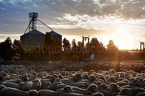 sheep; sheeps; animal; animals; merino sheep; merino; merinos; ovine; ovines; ovine industry; wool; wooly; woolly; woolley; fleece; fleeces; livestock; live stock; stock; sheep industry; sheep farming industry; farming industry; farm animal; farm animals; farm; farms; farming; sheep farming; australian farm; australian farms; australian sheep farming; australian sheep farming industry; australian farming; australian farming industry; australian ovine industry; sheep farmer; sheep farmers; farmer; farmers; food chain; food chains; livestock saleyards; livestock sale yards; live stock saleyards; live stock sale yards; saleyards; sale yards; sheep saleyards; sheep sale yards; sheep sale; sheep sales; livestock sale; livestock sales; live stock sale; live stock sales; sheep yard; sheep yards; yard; yards; sheep pen; sheep pens; pen; pens; crowded sheep yard; crowded sheep yards; crowded yard; crowded yards; crowded sheep pen; crowded sheep pens; crowded pen; crowded pens; crowd; crowds; crowded; crowding; fence; fences; fenced; fencing; country; country setting; country settings; australian country; rural; rural area; rural areas; rural setting; rural settings; rural australia; regional; regional australia; ewe; ewes; flock; flocks; flocking; flock of sheep; flocks of sheep; sheep flock; sheep flocks; animal photography; livestock truck; livestock trucks; live stock truck; live stock trucks; sheep truck; sheep trucks; transport; transports; transportation; transporting; livestock transport; live stock transport; livestock transportation; live stock transportation; semi trailer; semi trailers; semi trailer truck; semi trailer trucks; semi; semis; semi truck; semi trucks; prime mover; prime movers; load; loads; loading; loading bay; loading bays; loading truck; loading trucks; loading livestock truck; loading livestock trucks; loading live stock truck; loading live stock trucks; silo; silos; farm silo; farm silos; farming silo; farming silos; agricultural silo; agricultural silos; agriculture; agricultural; agriculture industry; agricultural industry; australian agriculture industry; australian agricultural industry; import; imports; importing; livestock import; livestock imports; importing livestock; live stock import; live stock imports; importing live stock; export; exports; exporting; livestock export; livestock exports; exporting livestock; live stock export; live stock exports; exporting livestock; tree; trees; silhouette; silhouettes; silhouetted; in silhouette; tree silhouette; tree silhouettes; silhouetted tree; silhouetted trees; tree in silhouette; trees in silhouette; backlit; back lit; backlight; back light; backlighting; back lighting; sky; skies; sunset; sunsets; sunsetting; sun set; sun sets; sun setting; sunset sky; sunset skies; sun set sky; sun set skies; sky; skies; dusk; against sunset sky; against sun set sky; sun; bright sun; sunburst; sun burst; sunray; sunrays; sun ray; sun rays; ray of light; rays of light; sunbeam; sunbeams; sun beam; sun beams; sun flare; sun flares; sun flaring; sun glow; sun glows; sun glowing; glowing sun; sunlight; sun light; day; daytime; day time; during the day; in the daytime; in the day time; daylight; day light; cloud; clouds; cloudy; cloudy sky; cloudy skies; overcast; overcast sky; overcast skies; overcast weather; cumulonimbus cloud; cumulonimbus clouds; nimbostratus cloud; nimbostratus clouds; animal cruelty; cruelty to animals; cruel; cruelty; animal abuse; abuse; distress; distressed; distressed animal; distressed animals; scared; scared animal; scared animals; frightened; frightened animal; frightened animals; hamilton; hamilton saleyards; hamilton sale yards; wool capital of australia; wool capitol of australia; south west victoria; sth west victoria; south west vic; sth west vic; victoria; victorian; vic; southern grampians; southern grampians shire; australia; australian; aus; royalty free; rf; royalty free image; royalty free images; rf image; rf images; close-up; close-ups; close up; close ups; closeup; closeups; close-up view; close-up views; closeup view; closeup views; close-up views; close-up views; close up views; closeup views; copyspace; copy space; textspace; text space; at; on; in; and; &; +;