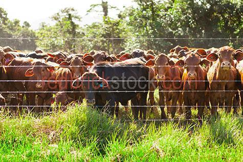 cow; cows; cattle; animal; animals; limousin cow; limousin cows; limousin cattle; limousin; limousins; beef cattle; beef industry; bovine; bovines; bovine industry; livestock; live stock; stock;cattle industry; bovine industry; farming industry; cattle farming industry; graze; grazes; grazing; cow grazing; cows grazing; cattle grazing; eating grass; cow eating grass; cows eating grass; cattle eating grass;pasture; pastures; lush; lush pasture; lush pastures; food chain; food chains;eating grass; cow eating grass; cows eating grass; cattle eating grass;import; imports; importing; livestock import; livestock imports; importing livestock; live stock import; live stock imports; importing live stock; export; exports; exporting; livestock export; livestock exports; exporting livestock; live stock export; live stock exports; exporting livestock; farm animal; farm animals; farm; farms; farming; cattle farming;australian farm; australian farms; australian farming; australian farming industry; australian cattle farming; australian cattle farming industry; australian bovine industry; farmland; farmlands; farm land; farm lands; farming property; farming properties;on farm; on the farm; cow on farm; cows on farm; cattle on farm; cow on the farm; cows on the farm; cattle on the farm; animal on farm; animals on farm; animal on the farm; animals on the farm; at farm;at the farm; cow at farm; cows at farm; cattle at farm; cow at the farm; cows at the farm; cattle at the farm; animal at farm; animals at farm; animal at the farm; animals at the farm; paddock; paddocks; cow paddock; cow paddocks; cattle paddock; cattle paddocks; farm paddock; farm paddocks; farming paddock; farming paddocks; cattle yard; cattle yards; yard; yards; cow portrait; cow portraits; cattle portrait; cattle portraits; animal portrait; animal portraits; nature; agriculture; agricultural; agriculture industry; agricultural industry; australian agriculture industry; australian agricultural industry; animal photog