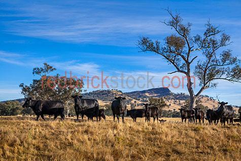 cow; cows; cattle; animal; animals; angus cow; angus cows; angus cattle; angus; aberdeen angus; aberdeen angus cow; aberdeen angus cows; aberdeen angus cattle; beef cattle; beef industry; bovine; bovines; bovine industry; livestock; live stock; stock;cattle industry; bovine industry; farming industry; cattle farming industry; graze; grazes; grazing; cow grazing; cows grazing; cattle grazing; pasture; pastures;food chain; food chains;eating grass; cow eating grass; cows eating grass; cattle eating grass;import; imports; importing; livestock import; livestock imports; importing livestock; live stock import; live stock imports; importing live stock; export; exports; exporting; livestock export; livestock exports; exporting livestock; live stock export; live stock exports; exporting livestock; farm animal; farm animals; farm; farms; farming; cattle farming;australian farm; australian farms; australian farming; australian farming industry; australian cattle farming; australian cattle farming industry; australian bovine industry; farmland; farmlands; farm land; farm lands; farming property; farming properties;on farm; on the farm; cow on farm; cows on farm; cattle on farm; cow on the farm; cows on the farm; cattle on the farm; animal on farm; animals on farm; animal on the farm; animals on the farm; at farm;at the farm; cow at farm; cows at farm; cattle at farm; cow at the farm; cows at the farm; cattle at the farm; animal at farm; animals at farm; animal at the farm; animals at the farm; paddock; paddocks; cow paddock; cow paddocks; cattle paddock; cattle paddocks; farm paddock; farm paddocks; farming paddock; farming paddocks; cattle yard; cattle yards; yard; yards; cow portrait; cow portraits; cattle portrait; cattle portraits; animal portrait; animal portraits; nature; agriculture; agricultural; agriculture industry; agricultural industry; australian agriculture industry; australian agricultural industry; animal photography; country; countryside; country setting; coun
