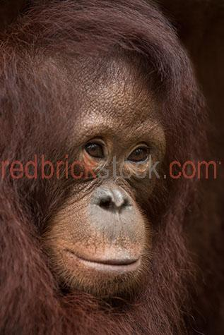 orangutan; orangutans; orang-utan; orang-utans; orang utan; orang utans; animal; animals; ape; apes; wild ape; wild apes; great ape; great apes; wild orangutan; wild orangutans; wild orang-utan; wild orang-utans; wild orang utan; wild orang utans; wild animal; wild animals; wild; in the wild; orangutan in the wild; orangutans in the wild; orang-utan in the wild; orang-utans in the wild; orang utan in the wild; orang utans in the wild; animal in the wild; animals in the wild; ape in the wild; apes in the wild; primate; primates; endangered animal; endangered animals; endangered species; threatened animal; threatened animals; threatened specials; adult; adults; adult orangutan; adult orangutans; adult orang-utan; adult orang-utans; adult orang utan; adult orang utans; rainforest; rainforests; rain forest; rain forests; forest; forests; jungle; jungles; orangutan in jungle; orangutans in jungle; animal in jungle; animals in jungle; jungle animal; jungle animals; mammal; mammals; orangutan portrait; orangutan portraits; orang-utan portrait; orang-utan portraits; orang utan portrait; orang utan portraits; animal portrait; animal portraits; pongo; pongo pygmaeus; ponginae; asia; asian; asian orangutan; asian orangutans; asian animal; asian animals; borneo; borneo orangutan; borneo orangutans; indonesia; indonesian; indonesian orangutan; indonesian orangutans; central kalimantan; kalimantan; nyaru menteng; nyaru menteng care centre; nyaru menteng orangutan rehabilitation and reintroduction centre; rehabilitation centre; rehabilitation centres; animal rehabilitation centre; animal rehabilitation centres; wildlife; wild life; asian wildlife; asian wild life; wildlife photography; wild life photography; nature; natural habitat; natural habitats; national park; national parks; protected area; protected areas; conservation; conservations; animal shelter; animal shelters; shelter; shelters; animal rescue; animal rescues; rescue; rescues; animal welfare shelter; animal welfare sh