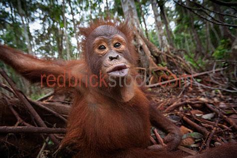 orangutan; orangutans; orang-utan; orang-utans; orang utan; orang utans; animal; animals; ape; apes; wild ape; wild apes; great ape; great apes; wild orangutan; wild orangutans; wild orang-utan; wild orang-utans; wild orang utan; wild orang utans; wild animal; wild animals; wild; in the wild; orangutan in the wild; orangutans in the wild; orang-utan in the wild; orang-utans in the wild; orang utan in the wild; orang utans in the wild; animal in the wild; animals in the wild; ape in the wild; apes in the wild; primate; primates; endangered animal; endangered animals; endangered species; threatened animal; threatened animals; threatened specials; adult; adults; adult orangutan; adult orangutans; adult orang-utan; adult orang-utans; adult orang utan; adult orang utans; play; plays; playing; playful; orangutan playing; orangutans playing; orang-utan playing; orang-utans playing; orang utan playing; orang utans playing; animal playing; animals playing; playful orangutan; playful orangutans; playful orang-utan; playful orang-utans; playful orang utan; playful orang utans; playful animal; playful animals; climb; climbs; climbing; climber; climbers; tree climber; tree climbers; tree climb; tree climbs; tree climbing; tree; trees; cheeky; cheeky monkey; cheeky monkeys; rainforest; rainforests; rain forest; rain forests; forest; forests; jungle; jungles; orangutan in jungle; orangutans in jungle; animal in jungle; animals in jungle; jungle animal; jungle animals; mammal; mammals; funny; humourous; humorous; humour; humor; animated; animated animal; animated animals;orangutan portrait; orangutan portraits; orang-utan portrait; orang-utan portraits; orang utan portrait; orang utan portraits; animal portrait; animal portraits; pongo; pongo pygmaeus; ponginae; asia; asian; asian orangutan; asian orangutans; asian animal; asian animals; borneo; borneo orangutan; borneo orangutans; indonesia; indonesian; indonesian orangutan; indonesian orangutans; central kalimantan; kalimantan; n