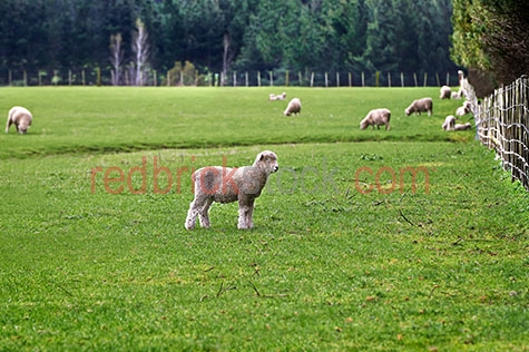 sheep;sheeps;animal;animals;lamb;lambs;baby sheep;baby animal;baby animals;baby;babies;cute;lambing;lambing season;lambing seasons;ovine;ovines;ovine industry;wool;wooly;woolly;woolley;fleece;fleeces;livestock;live stock;stock;sheep industry;sheep farming industry;farming industry;farm animal;farm animals;farm;farms;farming;sheep farming;agriculture;agricultural;agriculture industry;agricultural industry;graze;grazes;grazing;sheep grazing;eating grass;sheep eating grass;pasture;pastures;lush;lush pasture;lush pastures;meadow;meadows;lush meadow;lush meadows;grass;grasses;green grass;green grasses;lush grass;lush grasses;lush green grass;lush green grasses;paddock;paddocks;sheep paddock;sheep paddocks;farm paddock;farm paddocks;farming paddock;farming paddocks;fence;fences;fenced;fenced paddock;fenced paddocks;fenceline;fencelines;fence line;fence lines;farmland;farmlands;farm land;farm lands;farming property;farming properties;on farm;on the farm;sheep on farm;sheep on the farm;lamb on farm;lambs on farm;lamb on the farm;lambs on the farm;at farm;at the farm;sheep at farm;sheep at the farm;lamb at farm;lambs at farm;lamb at the farm;lambs at the farm;new zealand farm;new zealand farms;new zealand farming;nz farm;nz farms;nz farming;feed;feeds;feeding;sheep feeding;field;fields;lush field;lush fields;food chain;food chains;sheep yard;sheep yards;yard;yards;country;countryside;country setting;country settings;rural;rural area;rural areas;rural setting;rural settings;ewe;ewes;sheep portrait;sheep portraits;animal portrait;animal portraits;lamb portrait;lamb portraits;flock;flocks;flocking;flock of sheep;flocks of sheep;sheep flock;sheep flocks;new zealand sheep;nz sheep;breeding season;breeding seasons;spring;springtime;spring time;animal photography;tourist attraction;tourist attractions;new zealand tourist attraction;new zealand tourist attractions;nz tourist attraction;nz tourist attractions;tourist destination;tourist destinations;new zealand tourist destination;ne