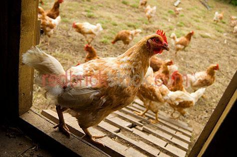 hen; hens; pullet; pullets; chook; chooks; chicken; chickens; animal; animals; bird; birds;fowl; fowls; comb; combs; combe; combes; chook comb; chook combs; chook combe; chook combes; chicken comb; chicken combs; chicken combe; chicken combes; feather; feathers; chook feather; chook feathers; chicken feather; chicken feathers;brown feather; brown feathers; brown chook; brown chooks; beak; beaks; chook beak; chook beaks; chicken beak; chicken beaks; wing; wings; chook wing; chook wings; chicken wing; chicken wings; clipped wing; clipped wings; chook pen; chook pens; chicken pen; chicken pens; pen; pens; chicken coop; chicken coops; chook coop; chook coops; coop; coops;free range; freerange; free-range;free range chook; free range chooks; freerange chook; freerange chooks; free-range chook; free-range chooks; free range chicken; free range chickens; freerange chicken; freerange chickens; free-range chicken; free-range chickens; free range hen; free range hens; freerange hen; freerange hens; free-range hen; free-range hens;free range farm; free range farms; free range farming; freerange farm; freerange farms; freerange farming; free-range farm; free-range farms; free-range farming; organic; organic chooks; organic chooks; organic chicken; organic chickens; organic hen; organic hens; farm animal; farm animals; farm; farms; farming;farming property; farming properties;on farm; on the farm; chook on farm; chooks on farm; chook on the farm; chooks on the farm; chicken on farm; chickens on farm; chicken on the farm; chickens on the farm; hen on farm; hens on farm; hen on the farm; hens on the farm; at farm; at the farm; chook at farm; chooks at farm; chook at the farm; chooks at the farm; chicken at farm; chickens at farm; chicken at the farm; chickens at the farm; hen at farm; hens at farm; hen at the farm; hens at the farm; chook portrait; chook portraits; chicken portrait; chicken portraits; poultry; food chain; food chains; chicken run; chicken runs; chook run; chook ru