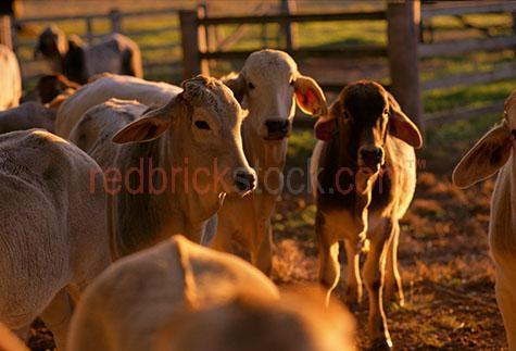 cow; cows; cattle; animal; animals; brahman cow; brahman cows; brahman cattle; brahman; brahmans; beef cattle; beef industry; bovine; bovines; bovine industry; livestock; live stock; stock;cattle industry; bovine industry; farming industry; cattle farming industry; calf; calves; brahman calf; brahman calves; baby cow; baby cows; baby animal; baby animals; baby; babies; cute; herd; herds; herding; cattle herd; cattle herds; herding cows; herding cattle; food chain; food chains;cattle farmer; cattle farmers; beef cattle farmer; beef cattle farmers; farmer; farmers; farm animal; farm animals; farm; farms; farming; cattle farming;australian farm; australian farms; australian farming; australian farming industry; australian cattle farming; australian cattle farming industry; australian bovine industry; farmland; farmlands; farm land; farm lands; farming property; farming properties;on farm; on the farm; cow on farm; cows on farm; cattle on farm; cow on the farm; cows on the farm; cattle on the farm; animal on farm; animals on farm; animal on the farm; animals on the farm; at farm;at the farm; cow at farm; cows at farm; cattle at farm; cow at the farm; cows at the farm; cattle at the farm; animal at farm; animals at farm; animal at the farm; animals at the farm; agriculture; agricultural; agriculture industry; australian agriculture industry; agricultural industry; australian agricultural industry; import; imports; importing; livestock import; livestock imports; importing livestock; live stock import; live stock imports; importing live stock; export; exports; exporting; livestock export; livestock exports; exporting livestock; live stock export; live stock exports; exporting livestock; paddock; paddocks; cow paddock; cow paddocks; cattle paddock; cattle paddocks; farm paddock; farm paddocks; farming paddock; farming paddocks; fence; fences; fenced; fenced paddock; fenced paddocks; fenced yard; fenced yards; fenced pen; fenced pens; cattle yard; cattle yards; yard; yards; 