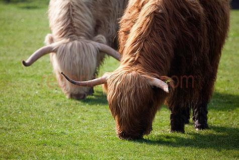 cow; cows; cattle; animal; animals; highland cow; highland cows; highland cattle; highland; highlands;bull; bulls;bull horn; bull horns; horn; horns;cow horn; cow horns; bovine; bovines; bovine industry; livestock; live stock; stock;cattle industry; bovine industry; farming industry; cattle farming industry; graze; grazes; grazing; cow grazing; cows grazing; cattle grazing;eating grass; cow eating grass; cows eating grass; cattle eating grass;pasture; pastures; lush; lush pasture; lush pastures;beef cattle; beef industry; food chain; food chains;cattle farmer; cattle farmers; beef cattle farmer; beef cattle farmers; farmer; farmers; farm animal; farm animals; farm; farms; farming; cattle farming;farmland; farmlands; farm land; farm lands; farming property; farming properties;on farm; on the farm; cow on farm; cows on farm; cattle on farm; cow on the farm; cows on the farm; cattle on the farm; animal on farm; animals on farm; animal on the farm; animals on the farm; at farm;at the farm; cow at farm; cows at farm; cattle at farm; cow at the farm; cows at the farm; cattle at the farm; animal at farm; animals at farm; animal at the farm; animals at the farm; brown cow; brown cows; white cow; white cows; paddock; paddocks; cow paddock; cow paddocks; cattle paddock; cattle paddocks; farm paddock; farm paddocks; farming paddock; farming paddocks; cattle yard; cattle yards; yard; yards; cow feed; cow feeding; cattle feed; cattle feeding; feed; feeds; feeding;country; countryside; country setting; country settings; scottish countryside; rural; rural area; rural areas; rural setting; rural settings; cow portrait; cow portraits; cattle portrait; cattle portraits; animal portrait; animal portraits; import; imports; importing; livestock import; livestock imports; importing livestock; live stock import; live stock imports; importing live stock; export; exports; exporting; livestock export; livestock exports; exporting livestock; live stock export; live stock exports; exporting li