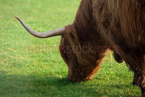cow; cows; cattle; animal; animals; highland cow; highland cows; highland cattle; highland; highlands;bull; bulls;bull horn; bull horns; horn; horns;cow horn; cow horns; bovine; bovines; bovine industry; livestock; live stock; stock;cattle industry; bovine industry; farming industry; cattle farming industry; graze; grazes; grazing; cow grazing; cows grazing; cattle grazing;eating grass; cow eating grass; cows eating grass; cattle eating grass;pasture; pastures; lush; lush pasture; lush pastures;beef cattle; beef industry; food chain; food chains;cattle farmer; cattle farmers; beef cattle farmer; beef cattle farmers; farmer; farmers; farm animal; farm animals; farm; farms; farming; cattle farming;farmland; farmlands; farm land; farm lands; farming property; farming properties;on farm; on the farm; cow on farm; cows on farm; cattle on farm; cow on the farm; cows on the farm; cattle on the farm; animal on farm; animals on farm; animal on the farm; animals on the farm; at farm;at the farm; cow at farm; cows at farm; cattle at farm; cow at the farm; cows at the farm; cattle at the farm; animal at farm; animals at farm; animal at the farm; animals at the farm; brown cow; brown cows; paddock; paddocks; cow paddock; cow paddocks; cattle paddock; cattle paddocks; farm paddock; farm paddocks; farming paddock; farming paddocks; cattle yard; cattle yards; yard; yards; cow feed; cow feeding; cattle feed; cattle feeding; feed; feeds; feeding;country; countryside; country setting; country settings; scottish countryside; rural; rural area; rural areas; rural setting; rural settings; cow portrait; cow portraits; cattle portrait; cattle portraits; animal portrait; animal portraits; import; imports; importing; livestock import; livestock imports; importing livestock; live stock import; live stock imports; importing live stock; export; exports; exporting; livestock export; livestock exports; exporting livestock; live stock export; live stock exports; exporting livestock; animal photogr