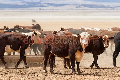 cow;cows;cattle;animal;animals;bovine;bovines;bovine industry;livestock;live stock;stock;cattle industry;bovine industry;farming industry;cattle farming industry;graze;grazes;grazing;cow grazing;cows grazing;cattle grazing;herd;herds;herding;cattle herd;cattle herds;beef cattle;beef industry;food chain;food chains;import;imports;importing;livestock import;livestock imports;importing livestock;live stock import;live stock imports;importing live stock;export;exports;exporting;livestock export;livestock exports;exporting livestock;live stock export;live stock exports;exporting livestock;farm animal;farm animals;farm;farms;farming;cattle farming;australian farm;australian farms;australian farming;australian farming industry;australian cattle farming;australian cattle farming industry;australian bovine industry;farmland;farmlands;farm land;farm lands;farming property;farming properties;on farm;on the farm;cow on farm;cows on farm;cattle on farm;cow on the farm;cows on the farm;cattle on the farm;animal on farm;animals on farm;animal on the farm;animals on the farm;at farm;at the farm;cow at farm;cows at farm;cattle at farm;cow at the farm;cows at the farm;cattle at the farm;animal at farm;animals at farm;animal at the farm;animals at the farm;agriculture;agricultural;agriculture industry;agricultural industry;australian agriculture industry;australian agricultural industry;paddock;paddocks;cow paddock;cow paddocks;cattle paddock;cattle paddocks;farm paddock;farm paddocks;farming paddock;farming paddocks;cattle yard;cattle yards;yard;yards;country;countryside;country setting;country settings;australian country;australian countryside;rural;rural area;rural areas;rural setting;rural settings;rural australia;regional;regional australia;cow portrait;cow portraits;cattle portrait;cattle portraits;animal portrait;animal portraits;ear tag;ear tags;ear tagging;cow ear tag;cow ear tags;cow ear tagging;cattle ear tag;cattle ear tags;cattle ear tagging;tag;tags;tagging;mark;marks;ma