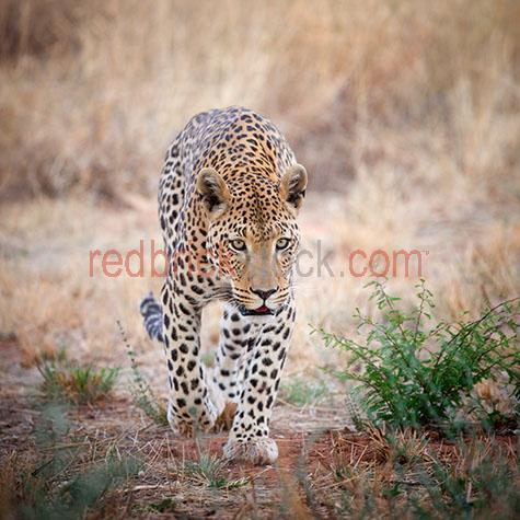 leopard; leopards; animal; animals; wild leopard; wild leopards; wild animal; wild animals; wild; in the wild; leopard in the wild; leopards in the wild; animal in the wild; animals in the wild; cat; cats; wild cat; wild cats;big cat; big cats;cat family; africa; african;namibia; okinjima; african leopard; african leopards; african animal; african animals; african wildlife; african wild life; safari; safaris; african safari; african safaris;carnivore; carnivores; carnivorous; hunt; hunts; hunting; hunter; hunters; hunting prey; leopard hunting prey; leopards hunting prey; stalk; stalks; stalking; stalker; stalkers; stalking prey; leopard stalking prey; leopards stalking prey; walk; walks; walking; leopard walk; leopard walks; leopard walking; leopards walking; danger; dangers; dangerous; dangerous animal; dangerous animals; encounter; encounters; animal encounter; animals encounters;close encounter; close encounters;spot; spots; spotted; spotty; spotted pattern; spotted patterns; spotty pattern; spotty patterns; pattern; patterns; patterned; leopard print; leopard spot; leopard spots; lean; lean animal; lean animals; whisker; whiskers; leopard whisker; leopard whiskers; cat whisker; cat whiskers; fast; fast animal; fast animals; speed; speedy; speedy animal; speedy animals; aggressive; aggression; aggressive animal; aggressive animals; zoo; zoos; animal zoo; animal zoos; leopard portrait; leopard portraits; animal portrait; animal portraits; panthera pardus; wildlife; wild life; wildlife photography; wild life photography; nature; natural habitat; natural habitats;national park; national parks; protected area; protected areas; conservation; conservations; animal photography; tourist attraction; tourist attractions; african tourist attraction; african tourist attractions; tourist destination; tourist destinations; african tourist destination; african tourist destinations; tourism; tourism africa; african tourism; travel; travels; traveling; overseas travel; over seas