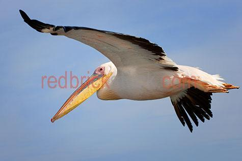 pelican; pelicans; bird; birds; animal; animals; african pelican; african pelicans; african bird; african birds; african animal; african animals;africa; african;nambia; walvis bay; african wildlife; african wild life;water bird; water birds; sea bird; sea birds; seabird; seabirds; marine life; sealife; sea life; bill; bills; pelican bill; pelican bills; beak; beaks; pelican beak; pelican beaks; bird beak; bird beaks; wild pelican; wild pelicans; wild bird; wild birds; wild animal; wild animals; in the wild; pelican in the wild; pelicans in the wild; bird in the wild; birds in the wild; animal in the wild; animals in the wild;wing; wings; pelican wing; pelican wings; bird wing; bird wings; wings spread; wingspan; wing span; pelican wingspan; pelican wing span; bird wingspan; bird wing span; feather; feathers; pelican feather; pelican feathers; bird feather; bird feathers;white feather; white feathers; black feather; black feathers;in flight; fly; flies; flying; flying overhead; flying over head; pelican in flight; pelicans in flight; pelican flying; pelicans flying; pelican flying overhead; pelicans flying overhead; pelican flying over head; pelicans flying over head; bird in flight; birds in flight; bird flying; birds flying; bird flying overhead; birds flying overhead; bird flying over head; birds flying over head; flying in the sky; flying in sky; pelican flying in the sky; pelicans flying in the sky; pelican flying in sky; pelicans flying in sky; bird flying in the sky; birds flying in the sky; bird flying in sky; birds flying in sky; pelican portrait; pelican portraits; bird portrait; bird portraits;mammal; mammals; australian mammal; australian mammals;pelecanidae; wildlife; wild life; wildlife photography; wild life photography; nature; natural habitat; natural habitats;animal photography; travel; travels; traveling; overseas travel; over seas travel; overseas; over seas; holiday; holidays; vacation; vacations; trip; trips; overseas holiday; overseas holidays;