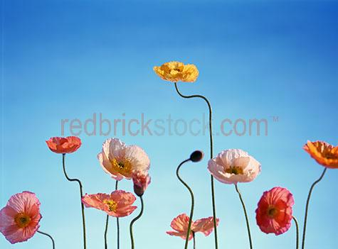 poppies;poppy;flower;flowers;tall;blue sky;bloom;blooms;bud;buds;tall poppy syndrome;field;plant;plants;yellow;pink