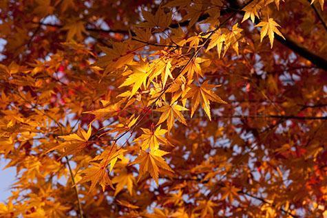 japanese maple leaf;japanese maple leaves;maple leaf;maple leaves;leaf;leaves;maple tree;maple trees;autumn;autumn leaves;warm tones;orange;oranges;colour orange;color orange;branch;branches;tree branch;tree branches;background;backgrounds;back ground;back grounds;nature;tree;trees;sun;sunny;sunlight;sun light;selective focus;nison-in;honshu;japan;japon;nihon;nippon;shakujii;shakujii koen;tokyo;nerima-ku;close-up;close-ups;close up;close ups;closeup;closeups;close-up view;close-up views;closeup view;closeup views;close-up views;close-up view's;close up views;closeup views;日本;本州;�京都;県;石神井;石神井公園