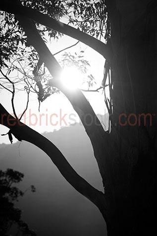 tree;trees;bark tree;bark trees;tree bark;bark;pieces of bark;leaf;leaves;branch;branches;tree branch;tree branches;twig;twigs;tree twig;tree twigs;sun;sunny;sunshine;sun shine;sunny day;early morning;early morning sun;glow;glows;glowing;sun glow;sun glows;sun glowing;mountain;mountains;country;country setting;country settings;close-up;close-ups;close-up's;close up;close ups;close up's;close-up view;close-up views;close-up view's;close up view;close up views;close up view's;silhouette;silhouetted;silhouettes;silhouetted tree;silhouetted trees;b&w;black & white;black and white;b & w;mono;monotonetweed valley;lismore;nsw;new south wales;australia;australian;aus