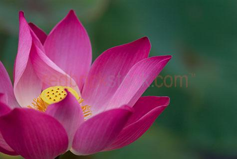 lotus flower flowers lilly lillie lillies lillys pond ponds blos