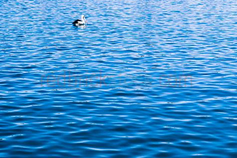 water;calm water;wet;ripples;water ripples;blue water;pelican;pelicans;pelican swimming;pelican floating;seaside;sea side;bay;bays;inlet;inlets;tide;tidal;salt water;water fowl;water bird;water birds;bird;birds;blue;colour blue;color blue;background;backgrounds;textspace;text space;copyspace;copy space