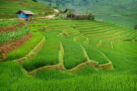 vietnam;vietnamese;asia;asian;sapa;rice fileds;fice field;rice;rices;grain;grains;plantation;plantations;grass;green grass;green;green;colour green;color green;paddy field;paddy fields;paddy;paddies;paddys;row;rows;lush;field;fields;travel;travels;travelling;vietnam rice field;vietnam rice fields;fresh;house;houses;vietnamese house;vietnamese houses;shack;shacks;mountain;mountains;hill;hills;hillside;hill side;agriculture;agricultural;farmland;farmlands;farm land;farm lands;crop;crops;rural;plant;plants
