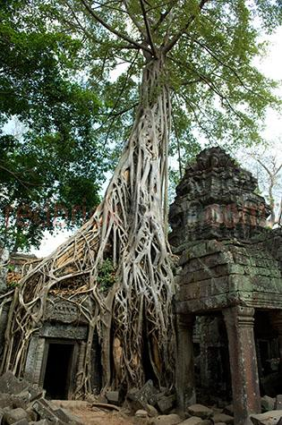 cambodia;asia;asian;siem reap;temples;temple;angkor wat;angkor thom;bayon temple;bayon temples;khmer;baobab tree;baobab trees;hindu;khmer architecture;architectural;city temple;city temples;city;cities;world heritage site;world heritage sites;ancient;historical;building;buildings;sandstone;oriental;overgrown;over grown;root;roots;plant;plants;structure;structures;ancient civilisation;ancient civilization
