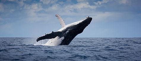 whale; whales; humpback whale; humpback whales; humpback; humpbacks; animal; animals; kingdom of tonga; tonga; tongan; above water; above the surface; sea animal; sea animals; sea creature; sea creatures; creature; creatures; swim; swims; swimming; whale swimming; whales swimming; maritime; marine; ocean; oceans; ocean water; ocean waters; sea; seas; sea water; sea waters; water; waters; blue water; waters surface; aquatic; marine life; sea life; sealife; aquatic; seascape; seascapes; mammal; mammals; wild whale; wild whales; wild humpback whale; wild humpback whales; wild animal; wild animals; wild; in the wild; whale in the wild; whales in the wild; humpback whale in the wild; humpback whales in the wild; animal in the wild; animals in the wild; snorkel; snorkels; snorkeling; snorkelling; snorkeling with whales; snorkelling with whales; snorkeling with humpback whales; snorkelling with humpback whales; snorkeling with animals; snorkelling with animals; national park; national parks; protected area; protected areas; conservation; conservations; endangered animal; endangered animals; endangered species; threatened animal; threatened animals; threatened specials;whale watching; fin; fins; whale fin; whale fins; breach; breaches; breaching; whale breach; whale breaches; whale breaching; whales breaching; surfacing; whale surfacing; whales surfacing; launch; launches; launching; launched; launching out of water; whale launch; whale launches; whales launching; whales launching; whale launching out of water; whales launching out of water; leap; leaps; leaping; leaping out of water; whale leap; whale leaps; whale leaping; whales leaping; whale leaping out of water; whales leaping out of water; splash; splashes; splashing; water splash; water splashes; water splashing; splashing water; whale portrait; whale portraits; animal portrait; animal portraits; megaptera novaeangliae; wildlife; wild life; wildlife photography; wild life photography; nature; natural habitat; natural
