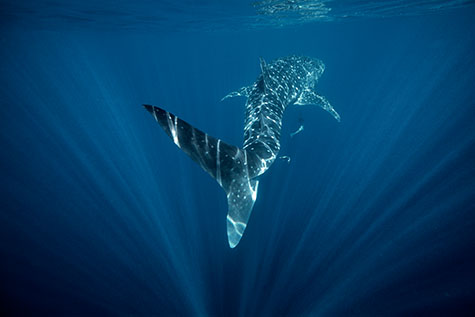 whale shark;whale sharks;whales;indian ocean;australia;western australia;ningaloo reef;reefs;ningaloo marine park;rhincodon typus;coast;coastal;coral reef;corals;coral;coral reefs;marine;ocean;oceans;sea;seas;sea water;water;wet;animals;fish;fishes;shark;sharks;blue;blues;colour blue;color blue;endangered species;marine parks;protected areas;protected area;sunlight;sun light;sun rays;sun ray;sun beams;sun beam;threatened species;underwater;underwater photography;light;cartilaginous fish;ocean life;sea life;sealife;copyspace;copy space;textspace;text space;sea creature;sea creatures;dangerous;danger