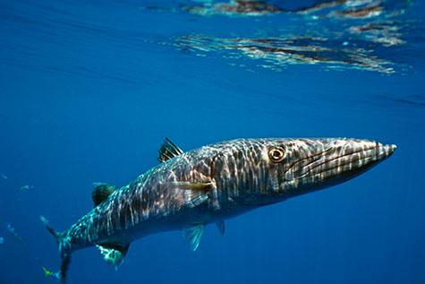 hook reef;great barrier reef;queensland;qld;australia;australian;aus;north queensland;north qld;nth queensland;nth qld;marine;marine life;ocean;sea;seas;sea water;water;wet;animals;animal;sea animal;sea animals;fish;fishes;barracuda;barracudas;great barracuda;barracudas;great barracudas;great barracuda;aggression;aggressive;marine parks;protected areas;protected area;underwater;under water;underwater photography;under water photography;sphyraena barracuda;dangerous;dangerous animal;dangerous animals;danger;sea life;sealife;ocean life;swim;swims;swimming;close up;close ups;close up's;close up view;close up views;close up view's