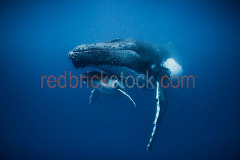 whale;whales;humpback whale;humpback whales;humpback;humpbacks;underwater;under water;animal;animals;sea animal;sea animals;sea creature;sea creatures;creature;creatures;swim;swims;swimming;maritime;marine;ocean;oceans;ocean water;ocean waters;sea;seas;sea water;sea waters;water;waters;blue water;below the surface;marine life;sea life;sealife;aquatic;nature;natural habitat;natural habitats;wildlife;wild life;seascape;seascapes;mammal;mammals;portrait;portraits;portraiture;animal portrait;animal portraits;whale portrait;whale portraits;humpback whale portrait;humpback whale portraits;sunlight;sun light;sunray;sunrays;sun ray;sun rays;ray of light;rays of light;sunbeam;sunbeams;sun beam;sun beams;underwater photography;under water photography;wildlife photography;wild life photography;snorkel;snorkels;snorkeling;snorkelling;snorkeling with whales;snorkelling with whales;snorkeling with humpback whales;snorkelling with humpback whales;snorkeling with animals;snorkelling with animals;scuba dive;scuba dives;scuba diving;scuba diving with whales;scuba diving with humpback whales;dive;dives;diving;tourist attraction;tourist attractions;endangered species;endangered animals;threatened species;threatened animals;explore;explores;exploring;exploration;exploring underwater;exploring under water;kingdom of tonga;tonga;megaptera novaeangliae;megaptera;prtoect;protects;protecting;protection;calf;calves;baby;babies;baby whale;baby whales;baby animal;baby animals;mother and child;mother & child;mother;mothers;mum;mums;mom;moms;motherhood;parent;parents;parenting;parenthood;child;children;breed;breeds;breeding;breeding season;whale breeding;whale breeding season;intimate;intimacy;blue;blues;colour blue;color blue;fish;fishes;close-up;close-ups;close up;close ups;closeup;closeups;close-up view;close-up views;closeup view;closeup views;close-up views;close-up views;close up views;closeup views;copyspace;copy space;textspace;text space
