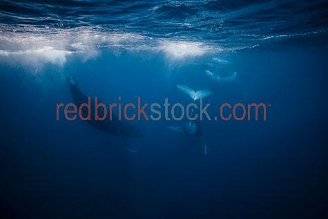 whale;whales;humpback whale;humpback whales;humpback;humpbacks;underwater;under water;animal;animals;sea animal;sea animals;sea creature;sea creatures;creature;creatures;swim;swims;swimming;maritime;marine;ocean;oceans;ocean water;ocean waters;sea;seas;sea water;sea waters;water;waters;blue water;waters surface;below the surface;marine life;sea life;sealife;aquatic;nature;natural habitat;natural habitats;wildlife;wild life;seascape;seascapes;mammal;mammals;portrait;portraits;portraiture;animal portrait;animal portraits;whale portrait;whale portraits;humpback whale portrait;humpback whale portraits;sunlight;sun light;sunray;sunrays;sun ray;sun rays;ray of light;rays of light;sunbeam;sunbeams;sun beam;sun beams;underwater photography;under water photography;wildlife photography;wild life photography;snorkel;snorkels;snorkeling;snorkelling;snorkeling with whales;snorkelling with whales;snorkeling with humpback whales;snorkelling with humpback whales;snorkeling with animals;snorkelling with animals;scuba dive;scuba dives;scuba diving;scuba diving with whales;scuba diving with humpback whales;dive;dives;diving;tourist attraction;tourist attractions;endangered species;endangered animals;threatened species;threatened animals;explore;explores;exploring;exploration;exploring underwater;exploring under water;kingdom of tonga;tonga;megaptera novaeangliae;megaptera;prtoect;protects;protecting;protection;calf;calves;baby;babies;baby whale;baby whales;baby animal;baby animals;mother and child;mother & child;mother;mothers;mum;mums;mom;moms;motherhood;parent;parents;parenting;parenthood;child;children;breed;breeds;breeding;breeding season;whale breeding;whale breeding season;intimate;intimacy;blue;blues;colour blue;color blue;jump;jumps;jumping;jumping out of water;whale jumping out of water;whales jumping out of water;humpback whale jumping out of water;humpback whales jumping out of water;whale surfacing;whales surfacing;surfacing;breach;breaches;breaching;whale breaching;whales