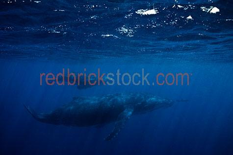 whale;whales;humpback whale;humpback whales;humpback;humpbacks;underwater;under water;animal;animals;sea animal;sea animals;sea creature;sea creatures;creature;creatures;swim;swims;swimming;maritime;marine;ocean;oceans;ocean water;ocean waters;sea;seas;sea water;sea waters;water;waters;blue water;waters surface;below the surface;marine life;sea life;sealife;aquatic;nature;natural habitat;natural habitats;wildlife;wild life;seascape;seascapes;mammal;mammals;portrait;portraits;portraiture;animal portrait;animal portraits;whale portrait;whale portraits;humpback whale portrait;humpback whale portraits;sunlight;sun light;sunray;sunrays;sun ray;sun rays;ray of light;rays of light;sunbeam;sunbeams;sun beam;sun beams;underwater photography;under water photography;wildlife photography;wild life photography;snorkel;snorkels;snorkeling;snorkelling;snorkeling with whales;snorkelling with whales;snorkeling with humpback whales;snorkelling with humpback whales;snorkeling with animals;snorkelling with animals;scuba dive;scuba dives;scuba diving;scuba diving with whales;scuba diving with humpback whales;dive;dives;diving;tourist attraction;tourist attractions;endangered species;endangered animals;threatened species;threatened animals;explore;explores;exploring;exploration;exploring underwater;exploring under water;kingdom of tonga;tonga;megaptera novaeangliae;megaptera;prtoect;protects;protecting;protection;calf;calves;baby;babies;baby whale;baby whales;baby animal;baby animals;mother and child;mother & child;mother;mothers;mum;mums;mom;moms;motherhood;parent;parents;parenting;parenthood;child;children;breed;breeds;breeding;breeding season;whale breeding;whale breeding season;intimate;intimacy;blue;blues;colour blue;color blue;dolphin;dolphins;bottlenose dolphin;bottlenose dolphins;bottle nose dolphin;bottle nose dolphins;fish;fishes;close-up;close-ups;close up;close ups;closeup;closeups;close-up view;close-up views;closeup view;closeup views;close-up views;close-up views;close up 